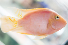 Parrot Fish. The Aquarium Blood Parrot Cichlid (or More Commonly And Formerly Known As Parrot Cichlid) Is A Hybrid Thought To Be Between The Midas And The Redhead Cichlid.