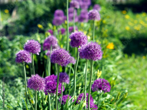 Photo bright lilac blooming aflatuni onion Latin name Allium aflatunense