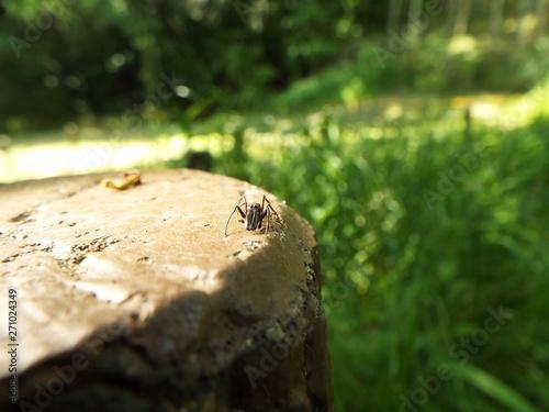 Obraz na plátně アリグモ spider like an ant