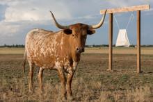 Texas Longhorn Cow Standing In Field