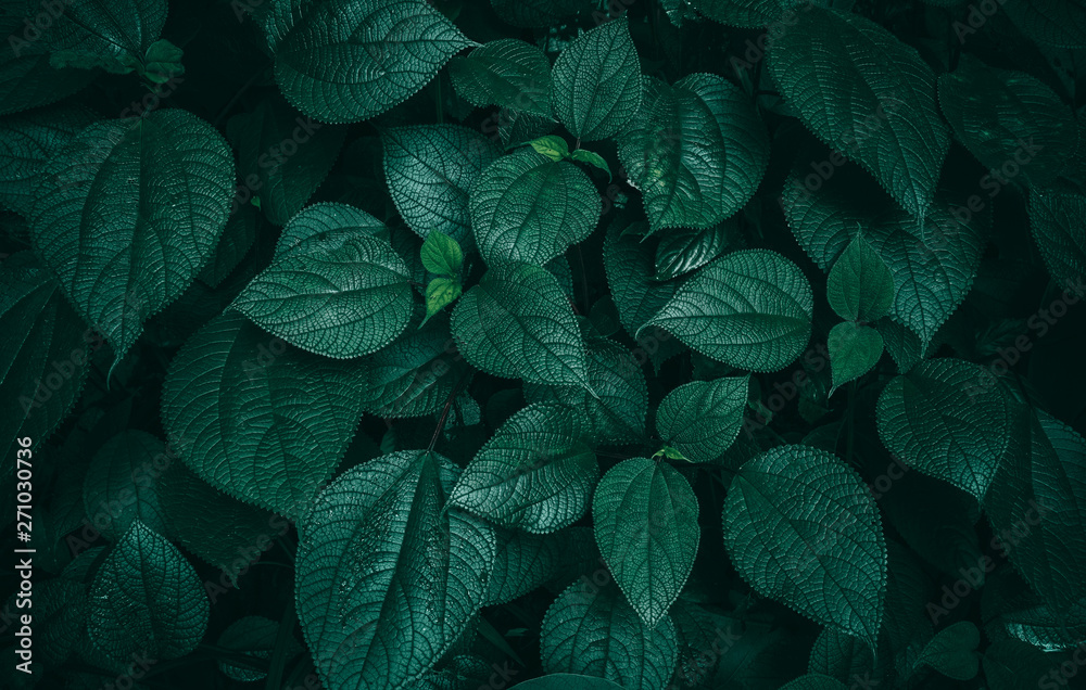 Fototapeta Foliage of tropical leaf in dark green texture, abstract pattern nature background.