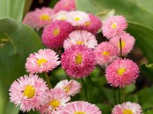 Pâquerettes Pomponnettes De Coloris Rose (bellis Perennis)