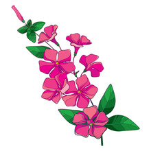 Branch Of Outline Pink Catharanthus Or Madagascar Periwinkle Flower Bunch, Bud And Ornate Green Leaves Isolated On White Background.