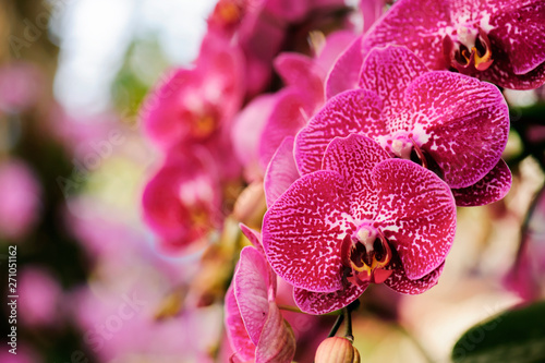 Papiers peints Orchidée Beautiful orchids bloom in the summer.