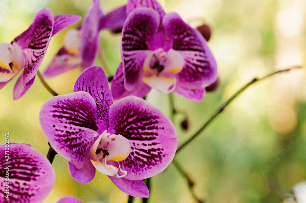Fototapety, obrazy: Beautiful pink orchid flowers bloom in the summer