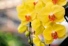 Beautiful Yellow Orchid Flowers Bloom In The Summer