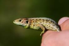 A Lizard Sitting On Palm