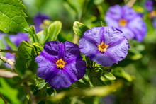 Blue Potato Bush Purple Flowers (Lycianthes Rantonnetii)