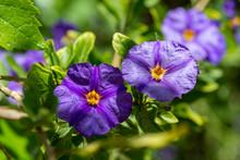 Blue Potato Bush Purple Flowers (Lycianthes Rantonnetii)