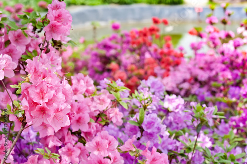 Montage in der Fensternische Azalee Pink and violet rhododendrons bloom in garden