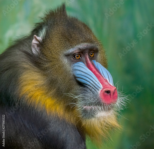 Tela Portrait of Mandrill, Mandrillus sphinx, primate  of the Old World monkey family