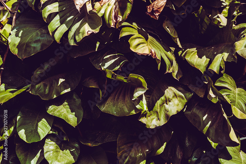 Fototapety, obrazy: The leaves of tropical Asian background