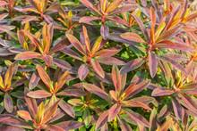"""Euphorbia """"Bonfire"""" Leaves"""