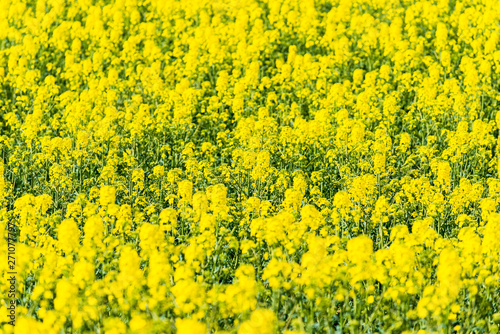 Poster Jaune Spring country landscape. View of the blooming rapeseed field and forest in the background on a clear sunny day. Flowers close up. Latvia