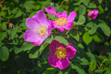 Blooming Branches Of Wild Rose...