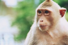 Monkey At Khao Kheow Open Zoo,...