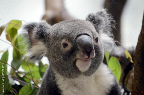 In de dag Koala コアラ