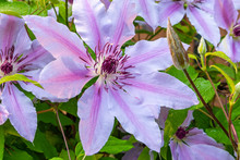 Pink Striped Clematis Flowers And Vine