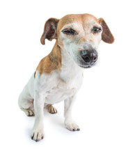 Funny Small Dog Looking With Squint Suspiciously. Sleepy Napping Face. Jack Russell Terrie On White Background