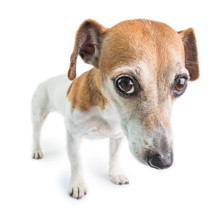 Sad Dog Face. Adorable Small Dog Jack Russell Terrier With Worried Face