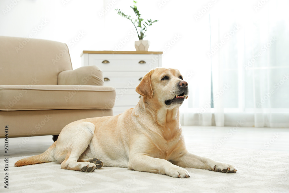 Fototapety, obrazy: Yellow labrador retriever lying on floor indoors