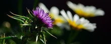 Splendid Thistle Flower In Foreground And White Daisies Out Of Focus In Background, Silybum Marianum