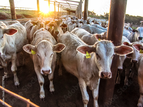 Foto  Sunrise of cattle on confinement in Brazil