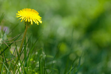 Green Grass Field With Yellow Dandelion