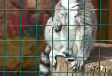 Lemur In A Cage At The Zoo.
