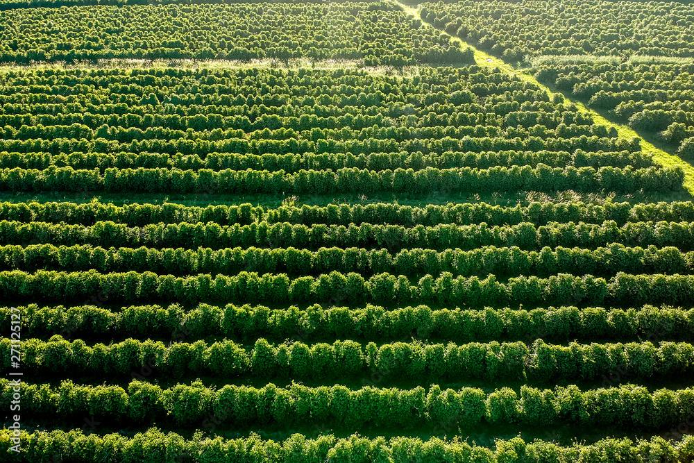 Fototapety, obrazy: aerial viewof green coffee field in Brazil