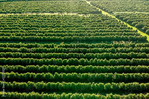aerial viewof green coffee field in Brazil Wallpaper Mural