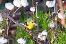 Tiny Female American Goldfinch Seen Perched In Its Vibrant Yellow Spring Plumage With Beak Full Of Coltsfoot Seeds, Quebec City, Quebec, Canada