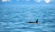 Orca Killer Whale Surfacing In...