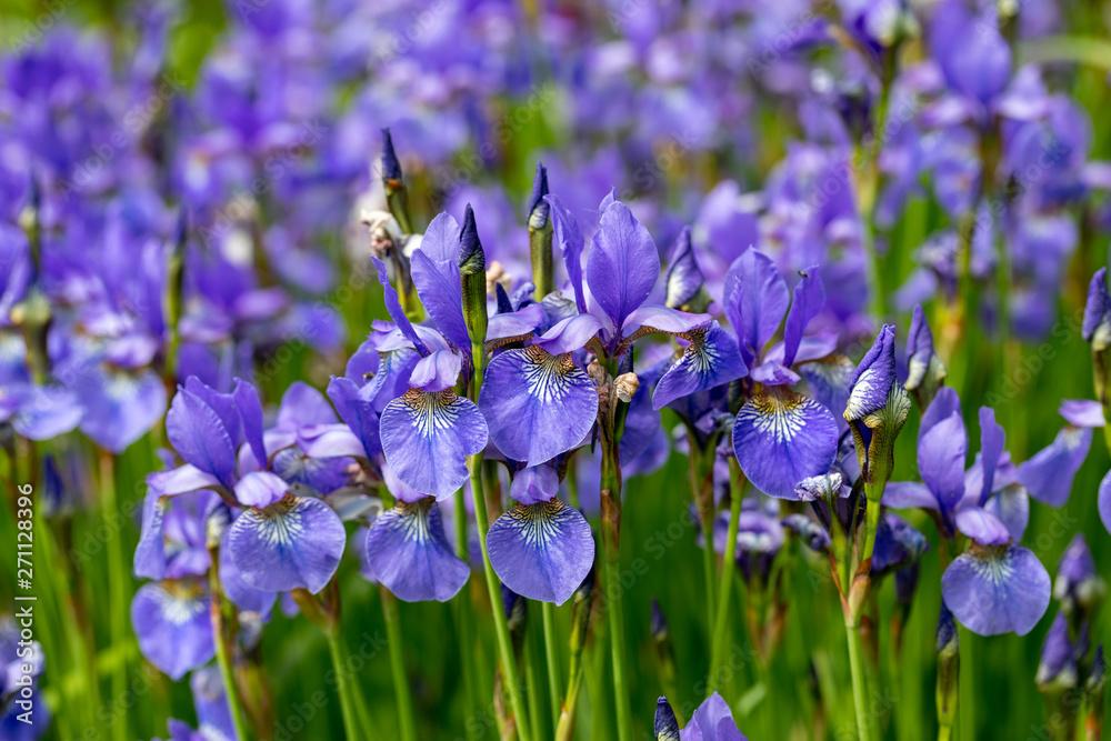 Fototapeta Blue flowers Iris versicolor beautifully blooming in the garden