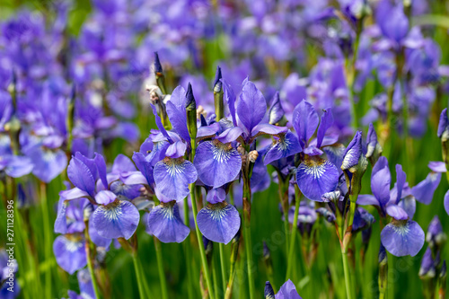 Fotografie, Obraz Blue flowers Iris versicolor beautifully blooming in the garden