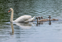 Adult Mute Swan (cygnus Olor) ...