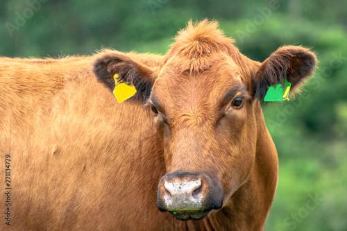 Red angus Cattle in pasture in Brazil Tapéta, Fotótapéta