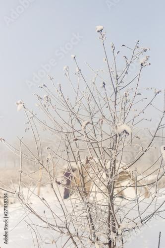 Fototapeten Natur Tree, winter scene. Branch under the winter frost, natural background photos.