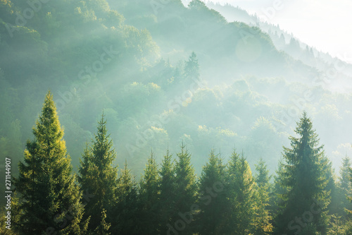 Poster Trees spruce treetops on a hazy morning. wonderful nature background with sunlight coming through the fog. bright sunny atmosphere
