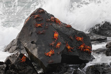 Sally Lightfoot Crabs Gathered On A Rock