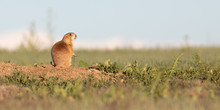 Prairie Dog Morning