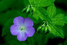The Close Portrait Of Wild Geranium