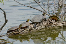 Wild Red Eared Slider And Western Painted Turtles Sunbathing On Submerged Log At Edge Of Lake
