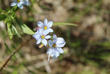 Prairie Blue-eyed Grass At Mor...