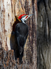 Male Pileated Woodpecker Portr...