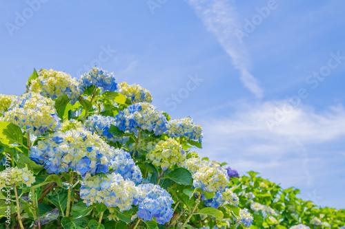 Photo 色づき始めたアジサイと初夏の青空
