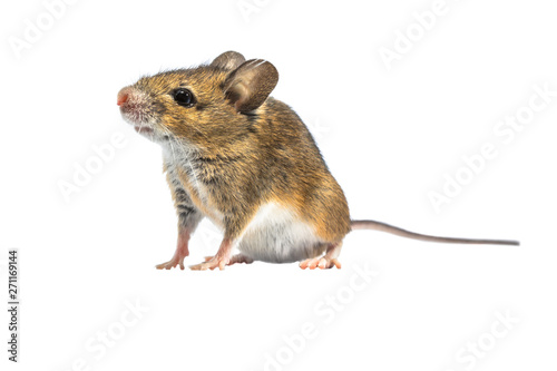 fototapeta na lodówkę Beautiful mouse isolated on white background