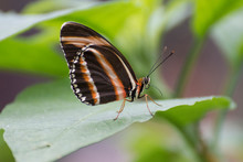 Butterfly 2019-34 / Banded Orange Butterfly (Dryadula Phaetusa)
