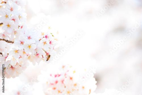 Foto op Plexiglas Kersenbloesem サクラと蜜蜂