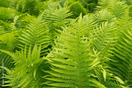 Beautiful ferns leaves green foliage nature Canvas Print